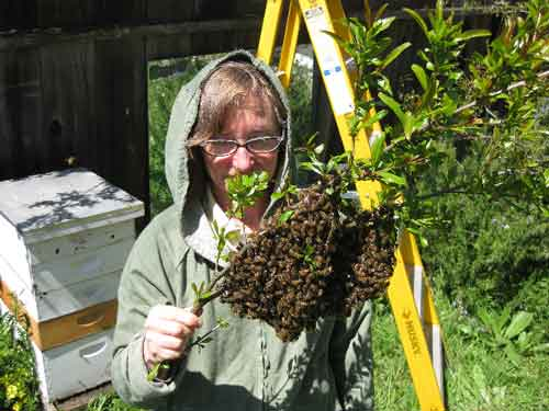 I hold a branch with a small swarm of bees.