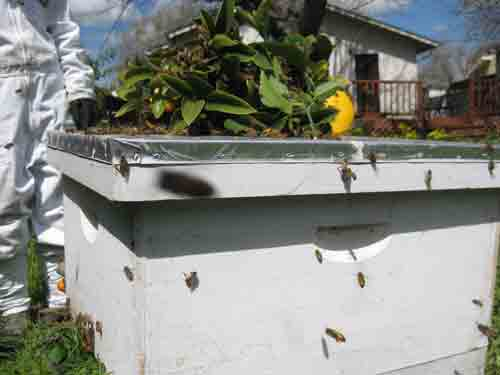 Hive houses a swarm with lemon branch on top.