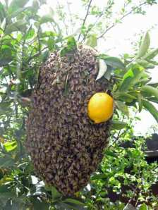 Swarm in lemon tree.
