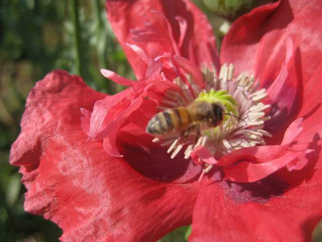 Bee dusty with pollen in pink poppy.