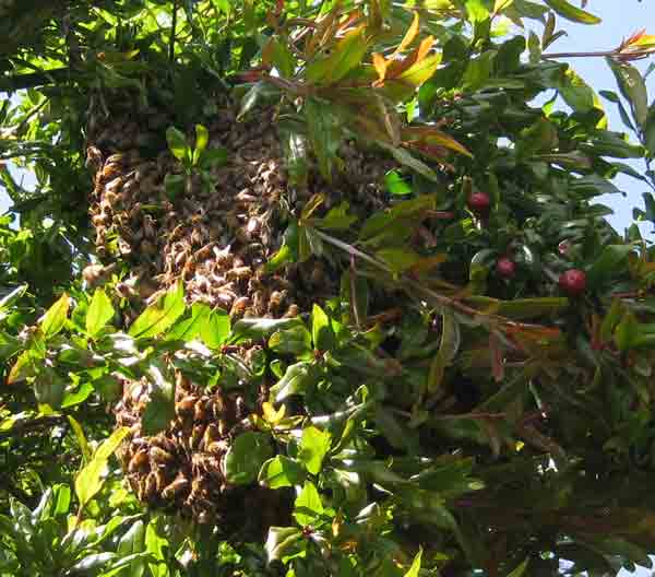 Swarm in pomegranite tree.