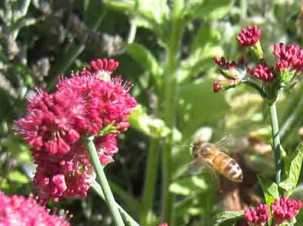 A honey bee approaches buckwheat.