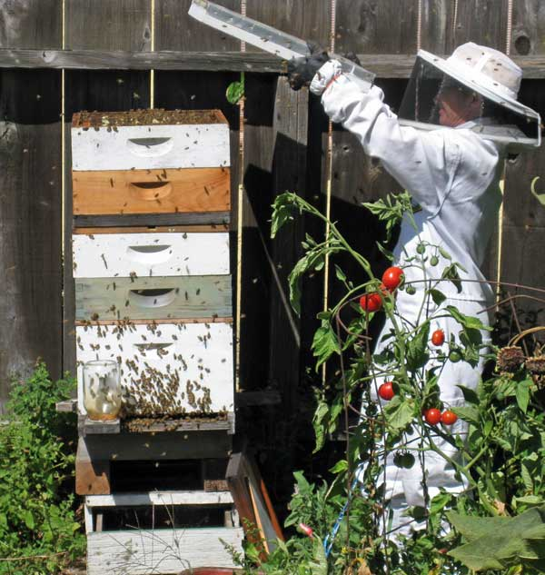 Here I am taking the lid off a tall hive.