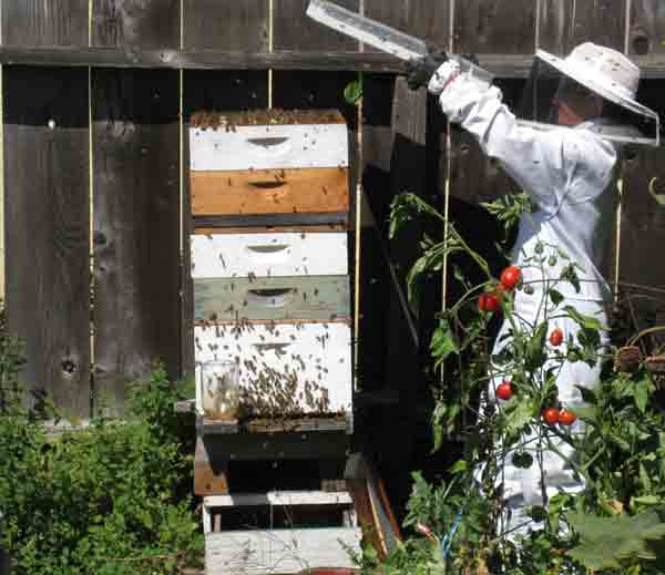 Here I am lifting the lid to a tall hive.