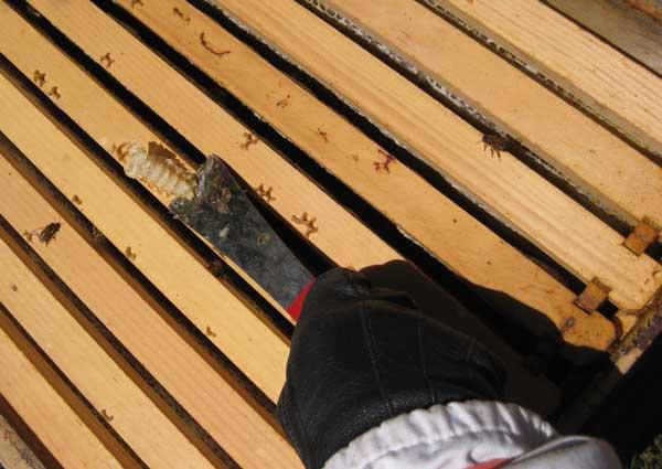 Using a hive tool to scrape off burr comb.