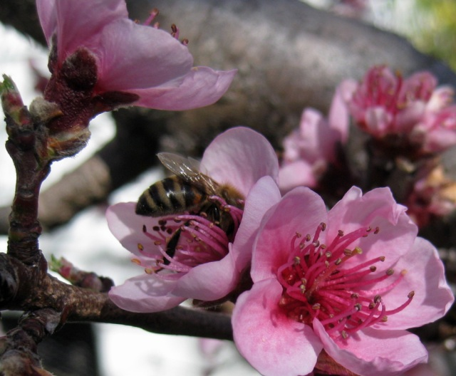 Bee gathering pollen from a peach flower