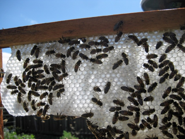 A frame of white wax and bees.