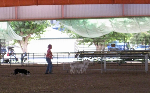 Sheep dog herds three goats into a pen