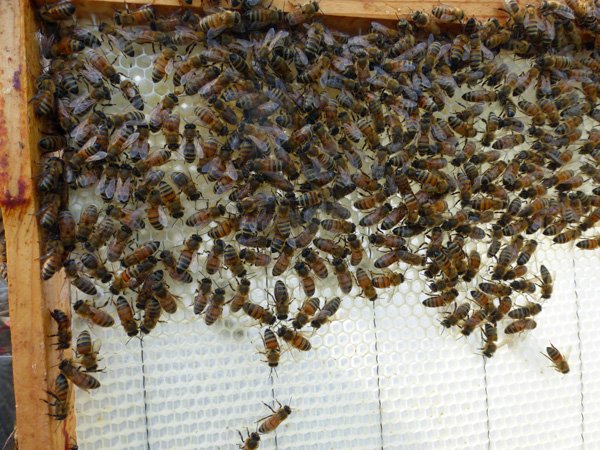 These bees are busy drawing out comb on foundation