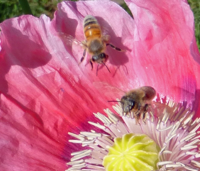 Two bees in a pink poppy