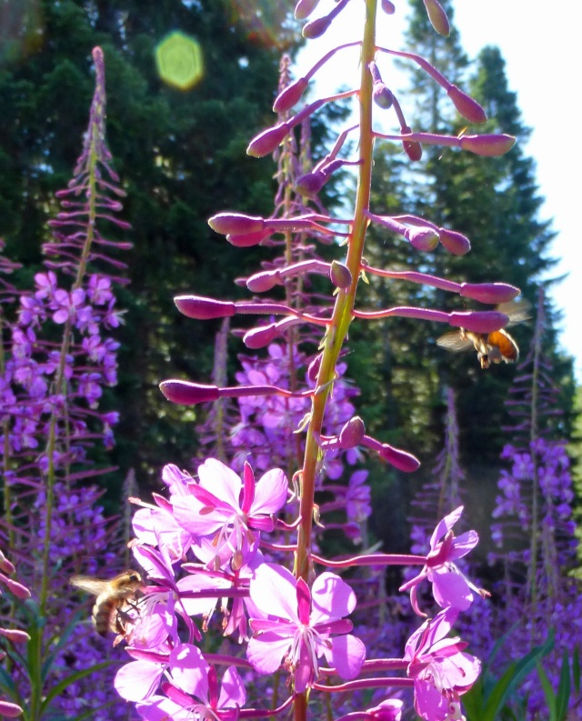 Oregon honey bees